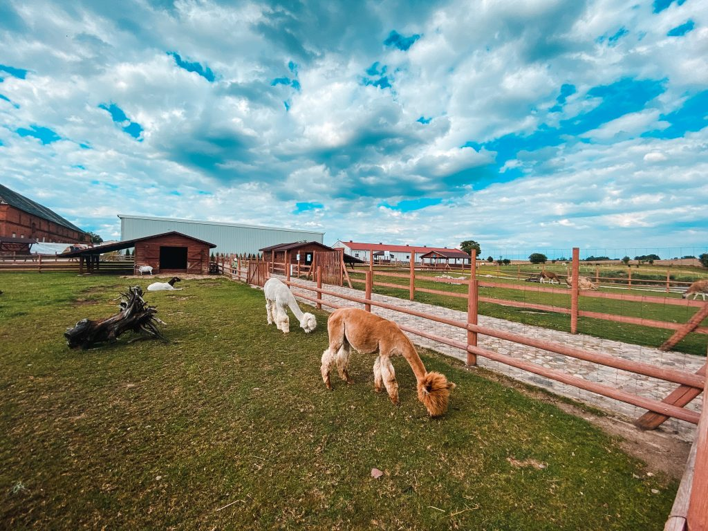 Alpacas - Best luxury retreat in Masuria | Pałac Mortęgi | Mortęgi Palace | Best SPA resort in Poland